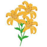 Tiger Lilies Isolated Objects. Bouquet of three tiger lilies on a white background. Isolated Objects Royalty Free Stock Photography