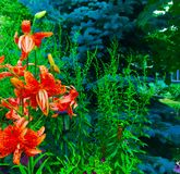 Tiger Lilies (Lilium tigrinum). Tiger Lily (Lilium tigrinum) flowers in front of a pine tree Stock Images
