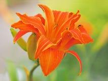 Tiger Lilies - Liliumbulbiferum Royaltyfria Bilder