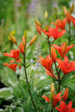 Tiger Lilies på rabatt i trädgård Royaltyfria Foton