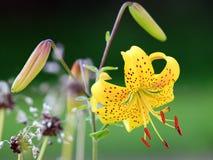 Tiger lilies portrait Stock Images