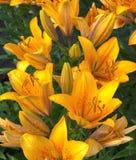 Tiger Lilies After Rain Royaltyfri Foto