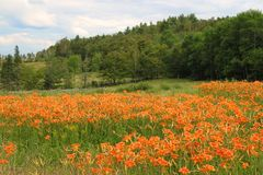 Tiger lilies in the rural field Stock Photo
