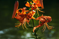 The Tiger Lilies of St. Joe Royalty Free Stock Image