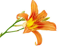 Tiger lilies on white background. Isolated Royalty Free Stock Image