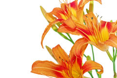 Tiger lilies on white background. Isolated Royalty Free Stock Photos