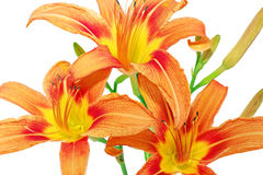 Tiger lilies on white background. Isolated Royalty Free Stock Images