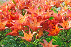 Tiger Lilium-Blumen im Garten Stockbilder