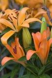 Tiger Lillies anaranjado Fotografía de archivo libre de regalías