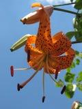 Tiger Lillies asiatico arancio Immagini Stock Libere da Diritti