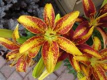 Tiger Lillies jaune et rouge image stock
