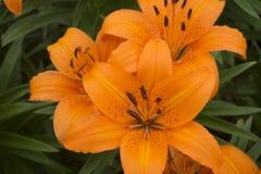 Tiger Lillies orange image stock