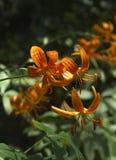 Tiger Lillies su Sunny Day fotografie stock