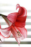 Tiger lilly. Close up of a single tiger lilly Royalty Free Stock Photos
