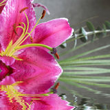Tiger lilly Stock Photography