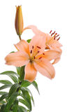 Tiger lilly. Orange Tiger Lilly isolated on white stock image