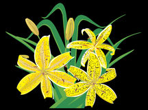 Tiger lilly. Bright yellow tiger lillies on the black background Stock Image