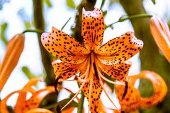 Tiger Lilly on a Bright Sunny Day royalty free stock photo