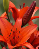 Tiger Lilly Royalty Free Stock Photography