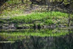 Tiger Lilly Plants Reflections verde in primavere di Paradise fotografie stock