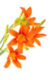 Tiger Lilly on white background Stock Image