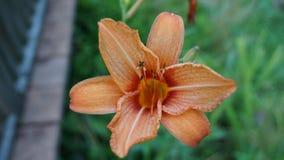 Tiger Lily Royalty-vrije Stock Afbeeldingen