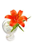 Tiger lily. Red tiger lily isolated on the white background Stock Photos