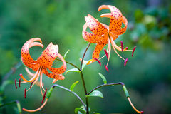 Free Tiger Lily Stock Photography - 11391112
