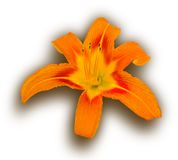 Tiger Lily. Isolated Over White (clipping path included Royalty Free Stock Photography