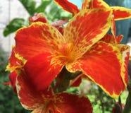 Tiger Lily fotografia de stock