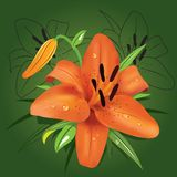 Tiger lily Stock Photography