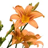 Tiger Lily Stock Image