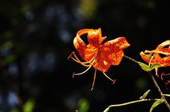 Tiger Lily. With dark background Stock Photo