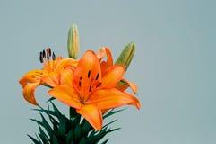 Tiger Lily Foto de archivo libre de regalías