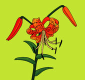 Tiger Lily Images libres de droits