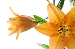 Tiger lily. Royalty Free Stock Photography