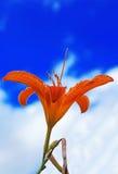 Tiger Lily Lizenzfreie Stockfotografie