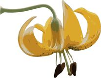 Tiger Lily. Illustration of Tiger Lily, Clipping Path Included royalty free illustration