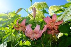 Tiger Lily Royaltyfria Foton