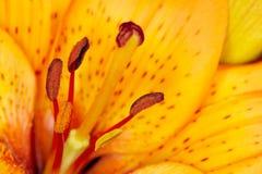 Tiger Lily Immagini Stock