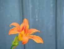 Tiger Lily Royaltyfri Foto