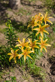 Tiger Lily Immagine Stock