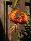 Tiger Lily Imagenes de archivo