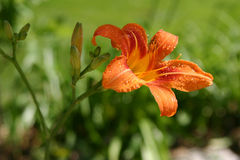Tiger Lily. Wet with rain drops against a beautiful green background Royalty Free Stock Image