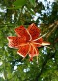 Tiger Lily Imagen de archivo libre de regalías