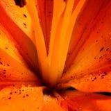 Tiger Lily Photographie stock libre de droits
