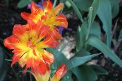 Tiger Lily Foto de archivo
