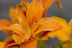 Tiger Lily alaranjado Imagens de Stock Royalty Free