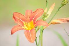 Tiger Lily alaranjado fotografia de stock royalty free