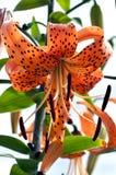 Tiger Lily anaranjado Fotos de archivo libres de regalías